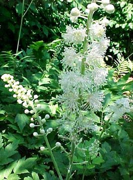 Herbal Extract Company's Black Cohosh Supplement