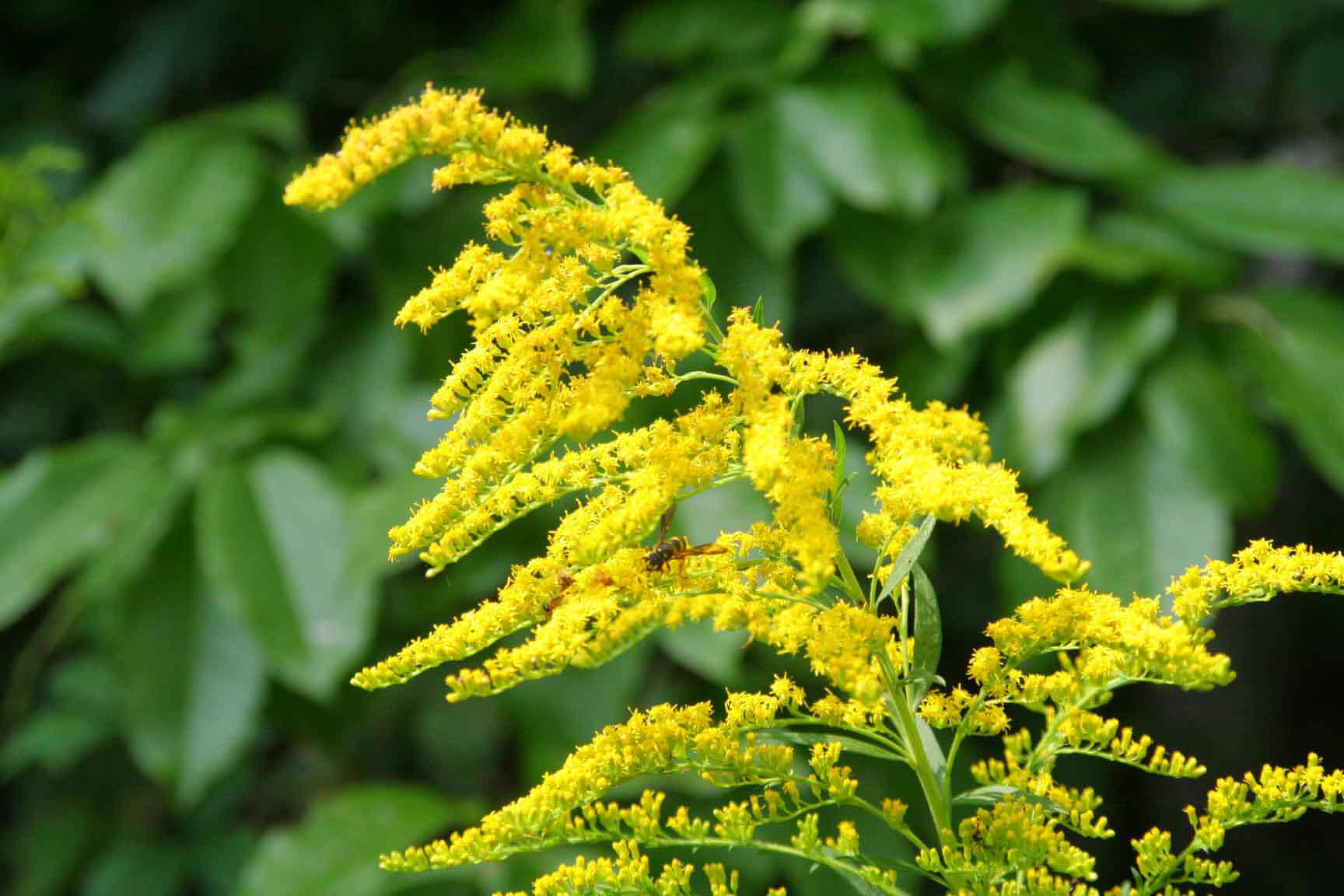 Herbal Extract pany s Goldenrod Supplement Sources